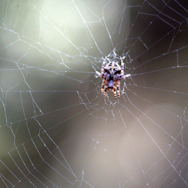 by Andreas Pipis - Nature Up Close Webs ( spider, web, close up )