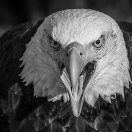 Angry Sam by Garry Chisholm - Black & White Animals ( bird, garry chisholm, eagle, nature, black and white, wildlife, prey, raptor )
