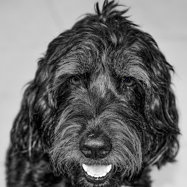 Golden doodle by Sam Moody - Animals - Dogs Portraits