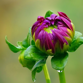 Dahlia bud  by Asif Bora - Flowers Flower Buds