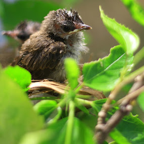 baby bird by Gie Nations - Animals Birds
