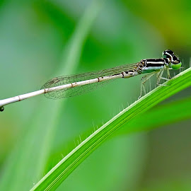Damsel fly  by Asif Bora - Animals Insects & Spiders
