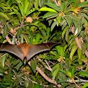 short-nosed Indian fruit bat