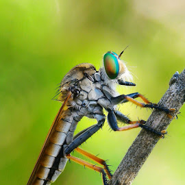 Robber fly by Hendro Bayu Pramono - Instagram & Mobile Android ( macrodaily, macro, nature, macro photography, indonesia, close up )