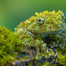 Happy frog by Devid Camerlynck - Animals Amphibians ( frog, green, tropical, moss, gree )