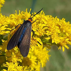 Yellow Collared Scape Moth by Matthew Beziat - Animals Insects & Spiders ( jug bay, lothian, yellow collared scape moth, parris glendening preserve, anne arundel county, maryland, insects, moths )