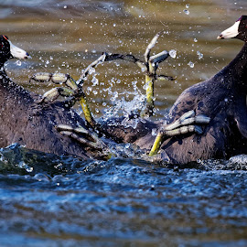 First Rule of Coot Club by Raphael RaCcoon - Animals Birds ( talons, fight, fighting, birds, coots )