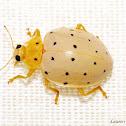 Cream-Colored Ladybug