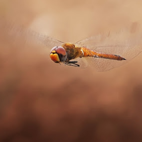 Flying for you by Setiady Wijaya - Animals Insects & Spiders