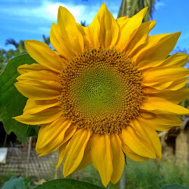 Sunflower by Asif Bora - Instagram & Mobile Other