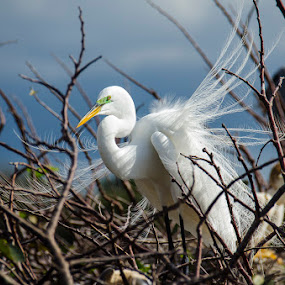 White Bird by Steven Greenbaum - Animals Birds ( wakodahatchee, nature, birds )