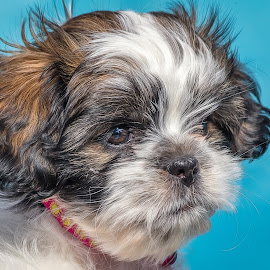 Buttons by Dave Lipchen - Animals - Dogs Puppies ( shih tzu )