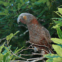 North Island Kaka