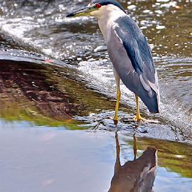 { Black Crowned Night Heron ~ Fishing on Damn Wall }  by Jeffrey Lee - Animals Birds ( { black crowned night heron ~ fishing on damn wall } )
