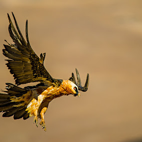 a Landing by Bridgena Barnard - Animals Birds ( vulture, landing, nature, birds,  )