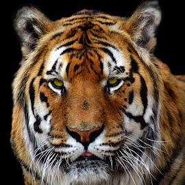 Tiger by Shawn Thomas - Animals Lions, Tigers & Big Cats