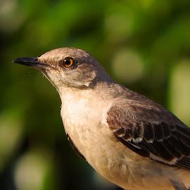 Mockingbird up close by Bill Martin - Animals Birds ( bird, nature, color, gray, mockingbird )