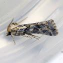 Noctuid Moth (Male)