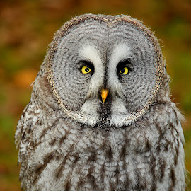 Great grey owl by Gérard CHATENET - Animals Birds