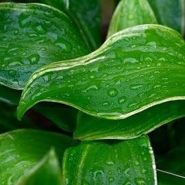 Hosta Leaves by Millieanne T - Nature Up Close Leaves & Grasses