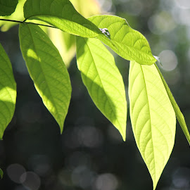 green leaves in the sun... by Radhika Aswin - Nature Up Close Leaves & Grasses (  )
