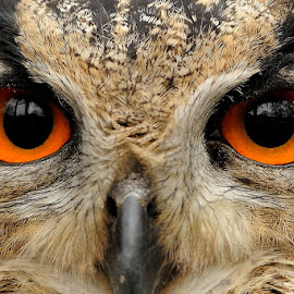 Eyes to eyes by Bencik Juraj - Animals Birds ( bird, bird of prey, owl, birding, eyes )