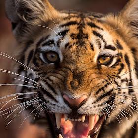 Tiger Growl - No Logo.jpg