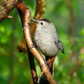 Catbird by Erika  Kiley - Novices Only Wildlife ( bird, branch, forest, gray, spring )