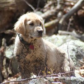 Udens- Woodlands Walk by Ellee Neilands - Animals - Dogs Puppies ( nature, puppy, cute, dog, spring, golden retriever )
