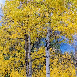 Quaking Aspen Fall by Chad Roberts - Nature Up Close Trees & Bushes ( teton valley, idaho, fall colors, autumn, fall, trees, aspen )