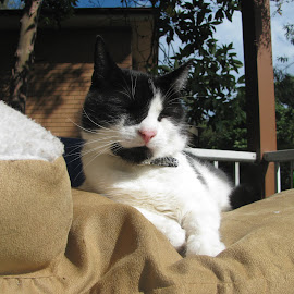 Cat On A Bed by Geoffrey Wols - Animals - Cats Portraits ( resting, cat, bed, sleeping, sun, outside,  )