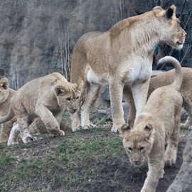 lioness and cubs at zoo by Andy Antipin - Animals Lions, Tigers & Big Cats ( animals, zoo, lioness, cubs, lion cubs )