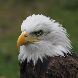 Bald Eagle by Garry Chisholm - Animals Birds ( bird, garry chisholm, nature, bald eagle, wildlife, raptor, prey )