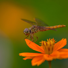 Dragonfly On an Orange Flower. by John Greene - Animals Insects & Spiders ( orange flower, macro, nature, canon 180mm, insect, john greene, dragonfly )