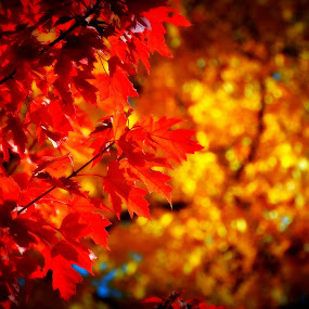 Fall colors by Awesome Pics - Nature Up Close Leaves & Grasses ( nature, fall colors, autumn, trees, leaves, , leaf, fall, abscission, folliage )