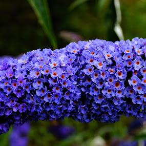 Butterfly Bush Flower by Carol Leynard - Flowers Flowers in the Wild ( honey fragrance, macro, butterfly bush, blue flowers, long blue blossoms, blue, tiny blue flowers, fragrant flowers, red centers )