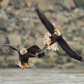 Bald Eagle Food Fight by Herb Houghton - Animals Birds ( eagle, bird of prey, staff favorites, animals in motion, bald eagle, raptor, motion, pwc76, animal )