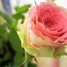 The Rose by Viive Selg - Flowers Single Flower