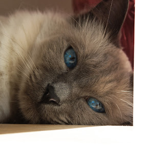 My Cat Being Himself by Anthony Schwab - Animals - Cats Portraits ( cat, ragdoll crossed with siamese )