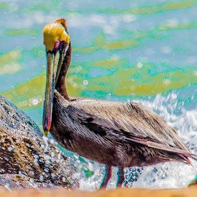 Brown Pelican by Lawrence Busch - Animals Birds ( pwctaggedbirds )