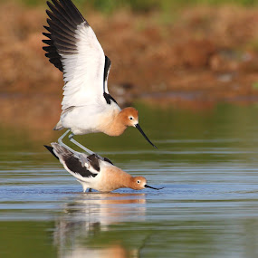 love avocet style by Ruth Jolly - Animals Birds ( bird, waterfowl, nature, fowl, american avocet, avocet )