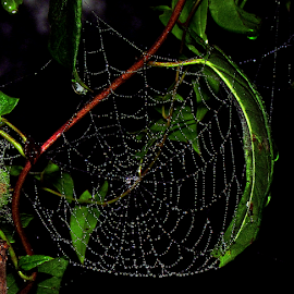 Dewy Curved Leaf Web by Tina Dare - Nature Up Close Webs ( spider web, macro, close up, waterdrops, dew drops, nature, web, spiderweb, leaf, dewy, water drops )