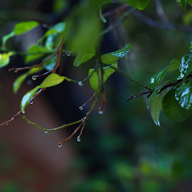 Under the Rain  by Azher S Saleh - Nature Up Close Leaves & Grasses ( leaves )