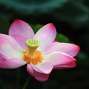 Flamboyant by Steven De Siow - Flowers Single Flower ( pink flower, lotus, nature up close, pink, flamboyant )