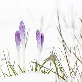 Winter is back by Adolf Beck - Nature Up Close Other Natural Objects ( winter flower, winter, snow, white, flowers,  )