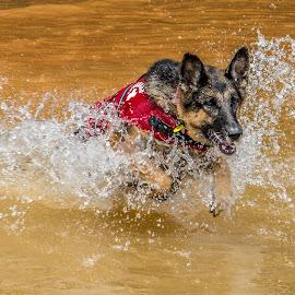 Big Wave by Myra Brizendine Wilson - Animals - Dogs Playing ( water, canine, dog running, german shepherd dog, dog playing, lake, dog, gsd )