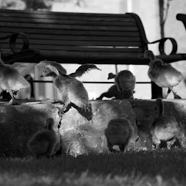 Step up by Rebecca Roy - Novices Only Wildlife ( park, baby animals, baby geese, geese )