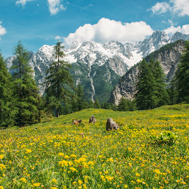 Meadows blooming under snowy mountains by Aleš Krivec - Landscapes Prairies, Meadows & Fields ( grass, beautiful, forest, meadows, yellow, landscape, woods, spring, sun, yellow flowers, mountains, sky, winter, nature, tree, sunny, snow, meadow, summer, flowers )
