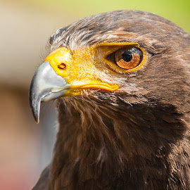 Harris hawks by M. Andersen - Animals Other Mammals