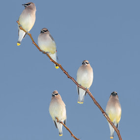 Cedar Waxwings by Brandon Downing - Animals Birds